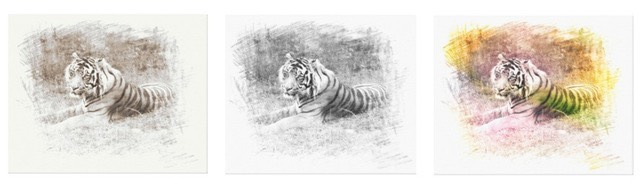 This wrapped canvas features a digitally rendered sketch of a Sumatra Tiger, an endangered species in Sumatra, Indonesia, in black and white,  sepia and in color